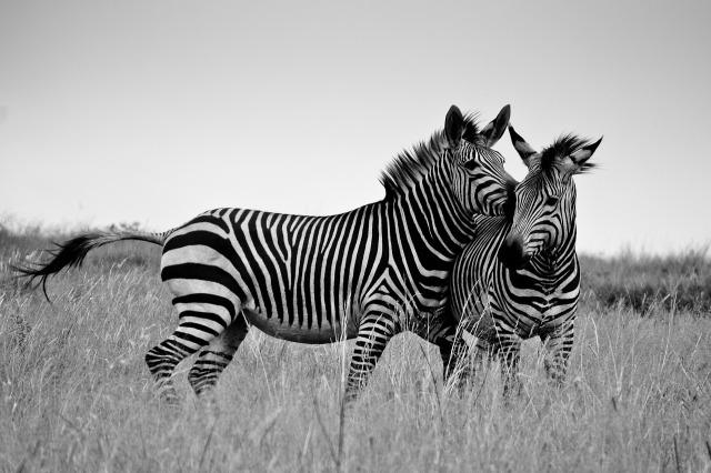 zebra-1221886_1280